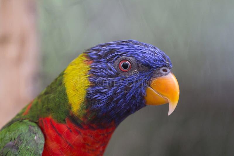 Primer de Lorikeet azul, verde, rojo y amarillo imagenes de archivo