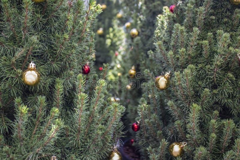 Primer de los árboles de navidad vivos arreglados con las bolas multicoloras - foco-bokeh selectivo en parte posterior - fondo imagen de archivo libre de regalías