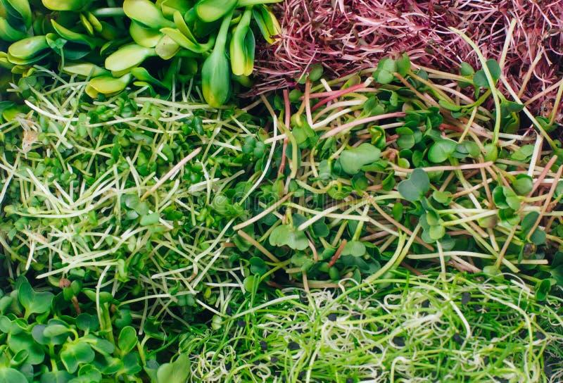 Primer de los brotes micro de los verdes del rábano, del amaranto, de la mostaza, de remolachas y de la cebolla foto de archivo