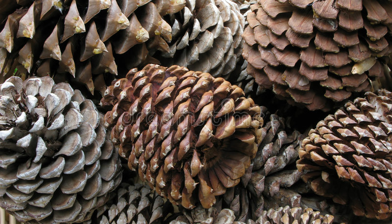 Primer de los conos del pino imagenes de archivo