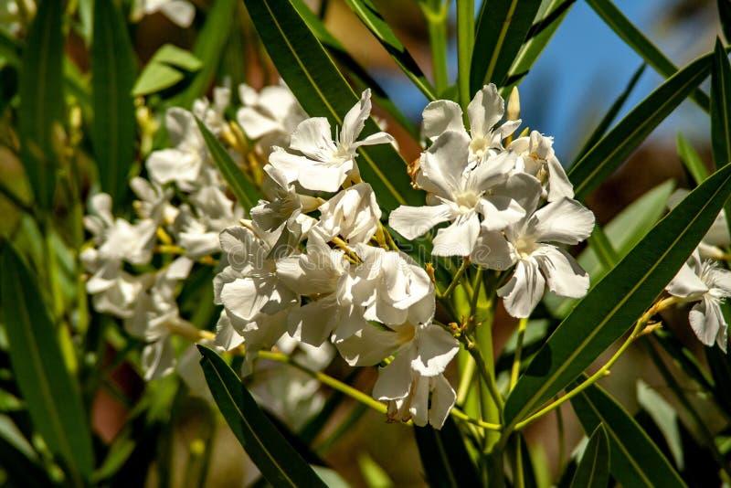 Primer de los flores blancos del olivo imagen de archivo libre de regalías