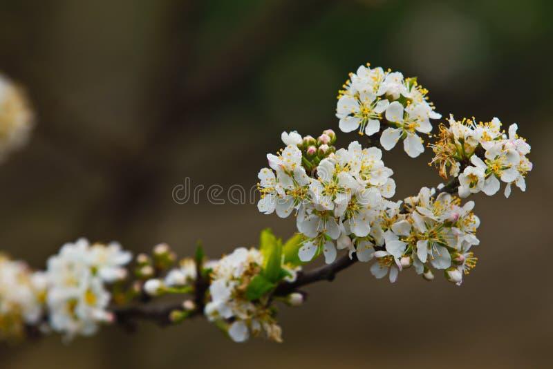 Primer de los flores del ciruelo en primavera imágenes de archivo libres de regalías
