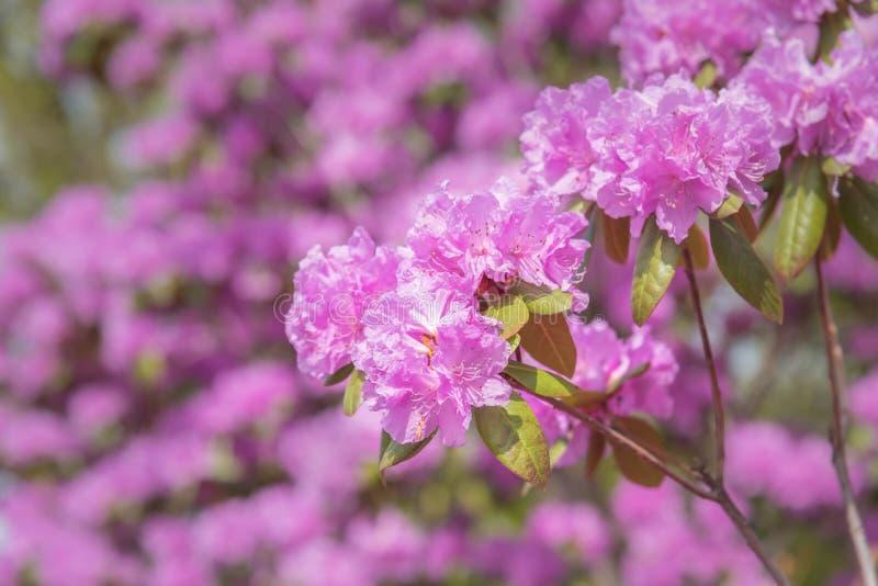 Primer de los flores rosados del rododendro en primavera imágenes de archivo libres de regalías