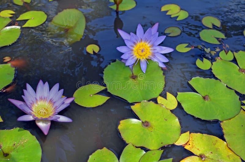 Primer de los lirios de agua púrpura y amarilla fotografía de archivo libre de regalías