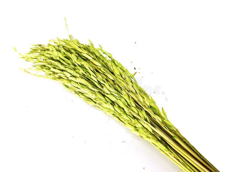 Primer de los oídos verdes del arroz aislados aislados en el backgr blanco foto de archivo libre de regalías