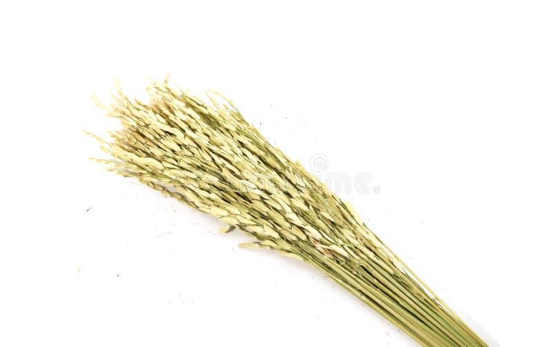 Primer de los oídos verdes del arroz aislados aislados en el backgro blanco fotografía de archivo libre de regalías