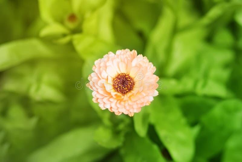 Primer de los officinalis anaranjados del calendula en conserva, ordinario, jardín, inglés, escoceses, mexicano, Azteca, maravill imagen de archivo libre de regalías
