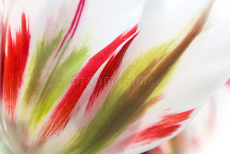 Primer de los pétalos transparentes blancos enormes frescos del tulipán con los detalles y las rayas rojos y verdes claros fotos de archivo libres de regalías