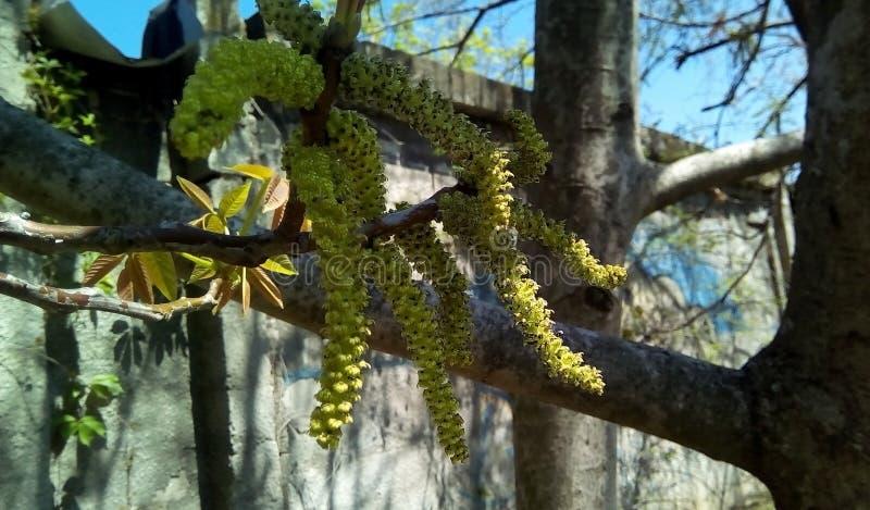 Primer de los pendientes de florecimiento de la nuez en la sombra de árboles fotos de archivo libres de regalías