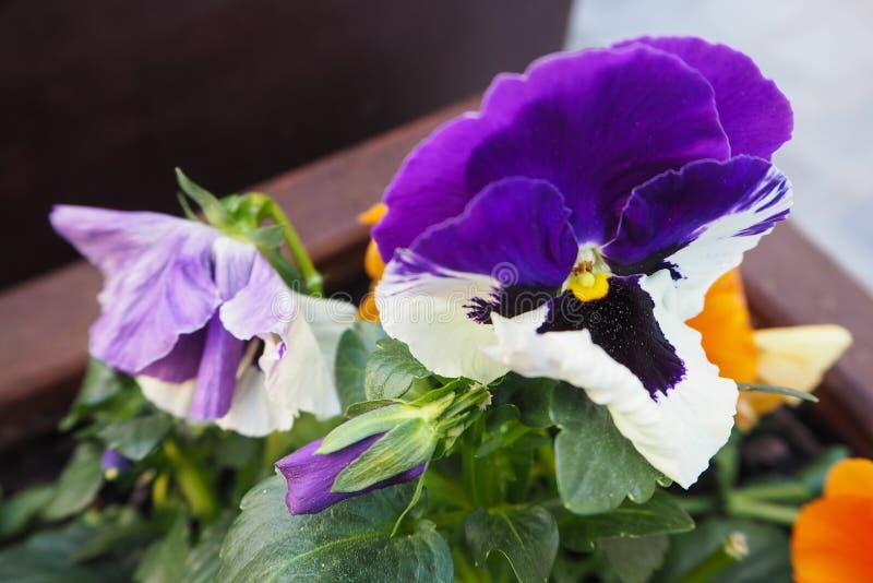 Primer de los pensamientos blanco-violetas fotos de archivo libres de regalías