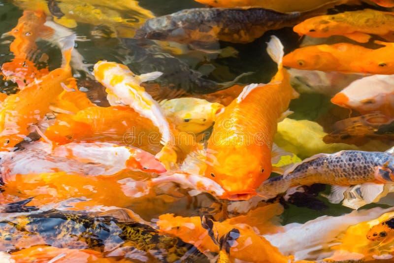 Primer de los pescados de Koi fotos de archivo