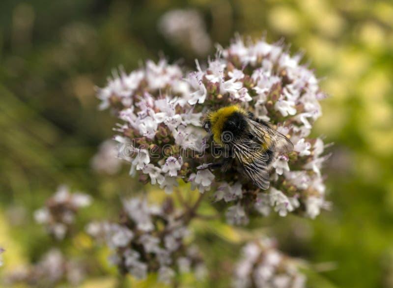 Primer de los terrestris de Buff Tailed Bumble Bee Bombus en vulgare del Origanum de la flor del orégano imágenes de archivo libres de regalías