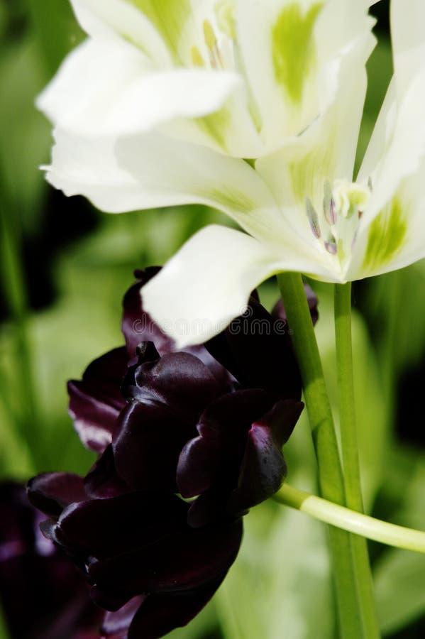 Primer de los tulipanes blancos y marrón en Keukenhof, Holanda fotografía de archivo libre de regalías