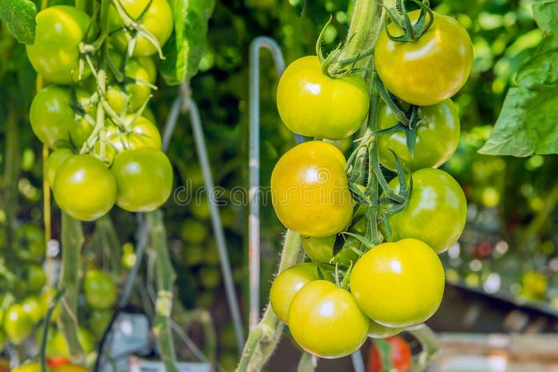 Primer de madurar los tomates hidropónico producidos imagenes de archivo