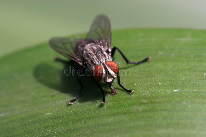 Primer de moscas foto de archivo