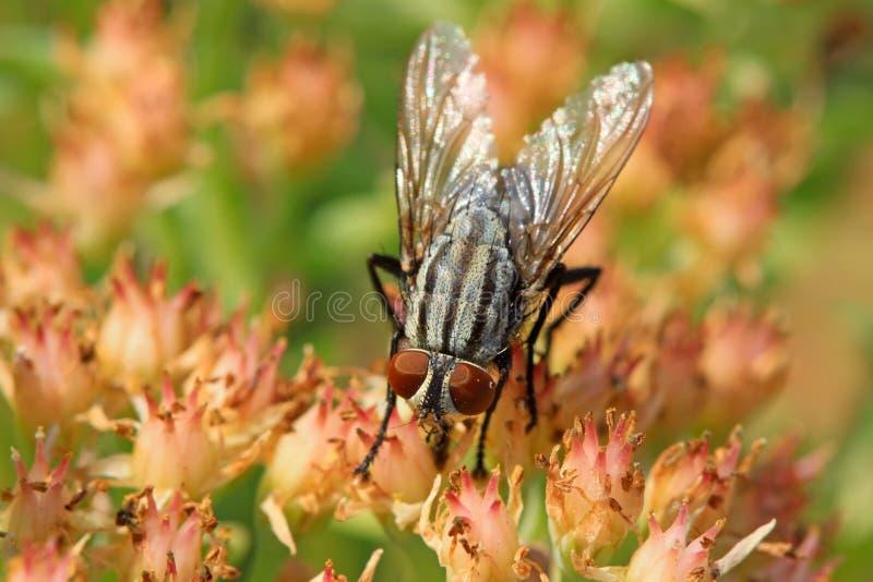 Primer de moscas fotografía de archivo libre de regalías