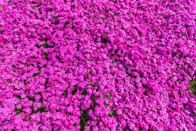 Primer de muchas flores púrpuras del aubrieta fotografía de archivo