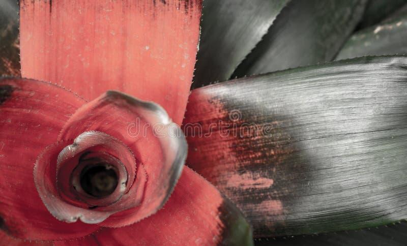 Primer de Neoregelia con colores detallados imagen de archivo