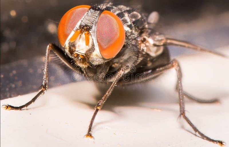 Primer de ojos anaranjados imponentes de la mosca de la casa imágenes de archivo libres de regalías