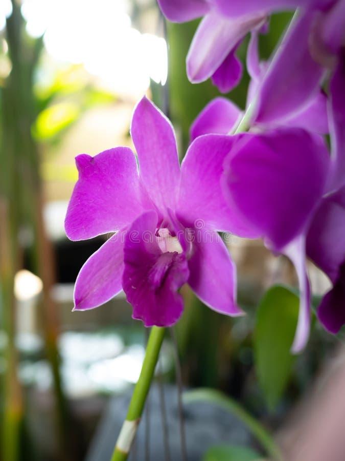 Primer de orquídeas púrpuras en potes en un fondo natural imagen de archivo