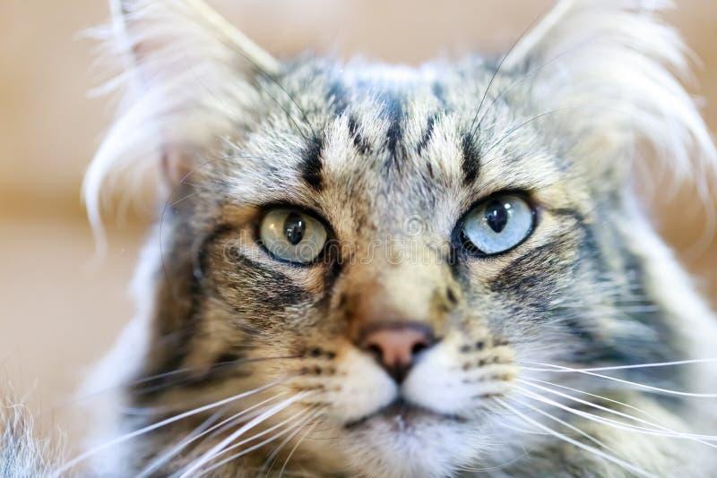 Primer de pelo largo del gato de mapache fotografía de archivo libre de regalías