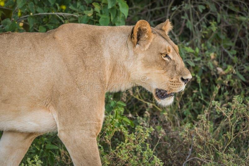 Primer de principal y de hombros de la leona fotos de archivo libres de regalías