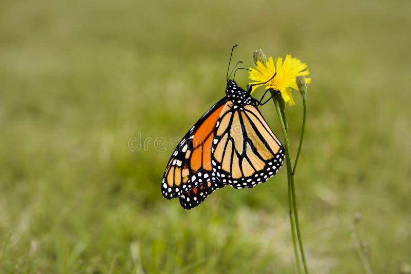 Primer de Profil de una mariposa de monarca fotos de archivo libres de regalías