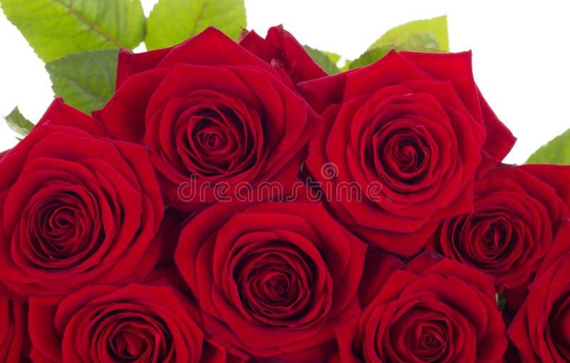 Primer de rosas imágenes de archivo libres de regalías