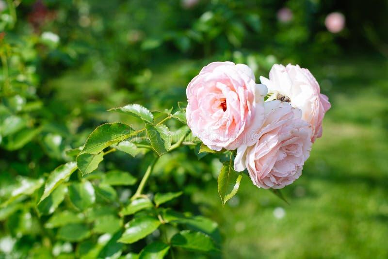 Primer de rosas rosadas en un jardín foto de archivo