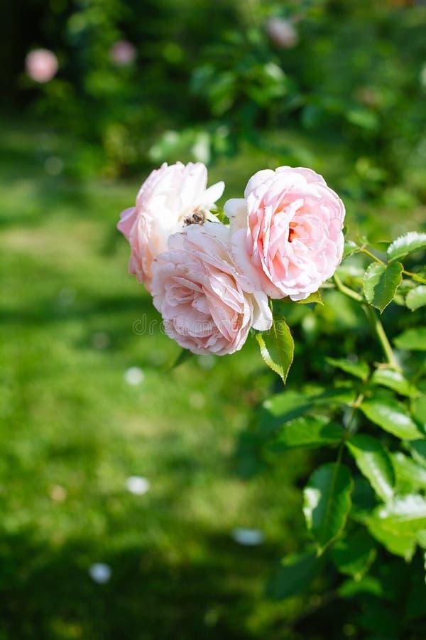 Primer de rosas rosadas en un jardín imagen de archivo libre de regalías