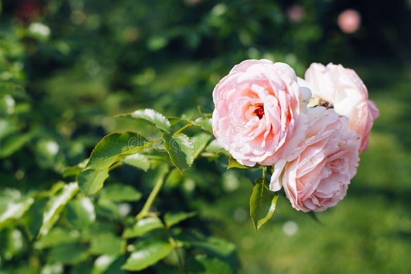Primer de rosas rosadas en un jardín fotos de archivo