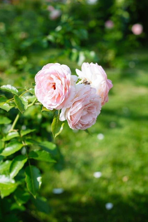 Primer de rosas rosadas en un jardín imagen de archivo