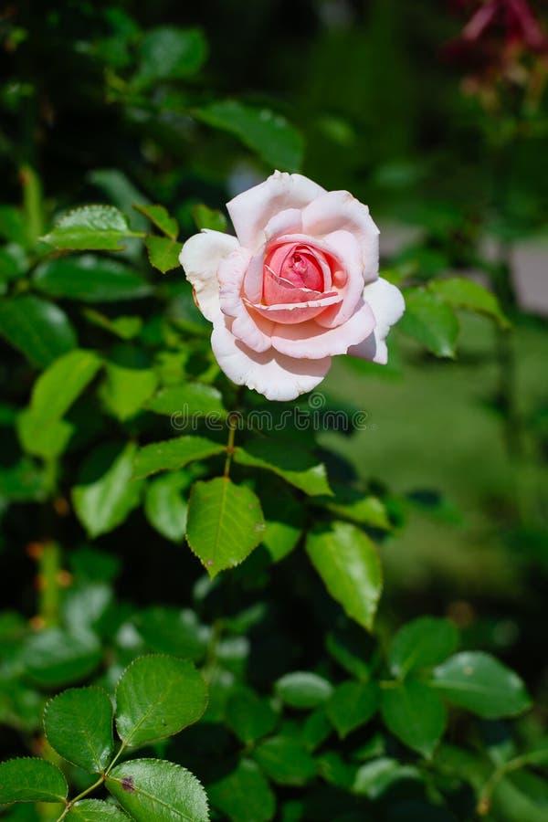 Primer de rosas rosadas en un jardín imágenes de archivo libres de regalías
