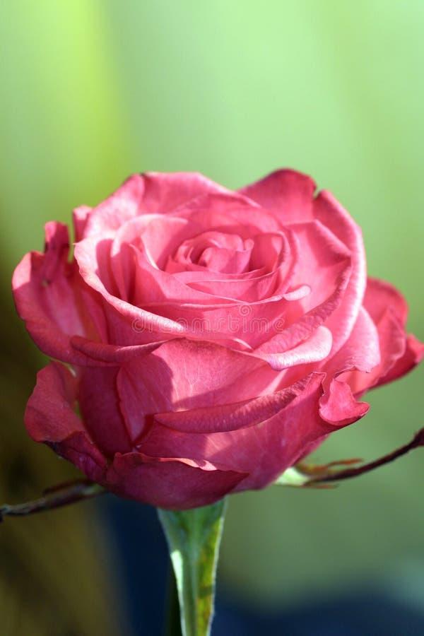 Primer de Rose imágenes de archivo libres de regalías