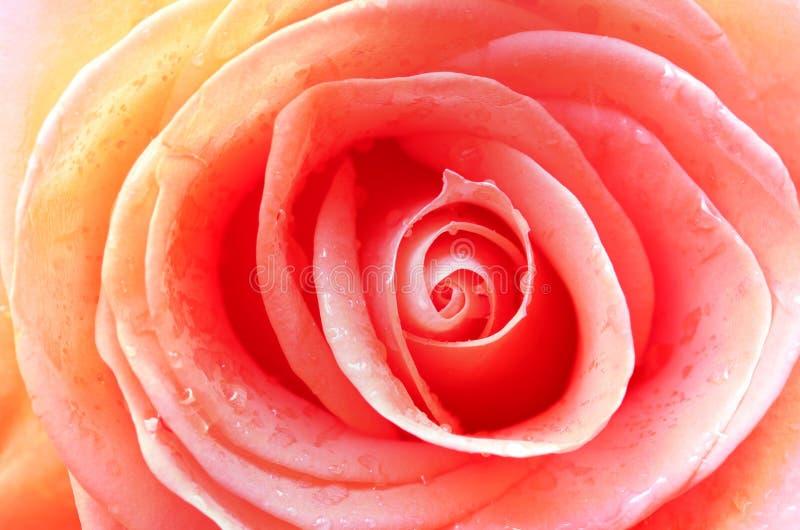 Primer de Rose fotos de archivo