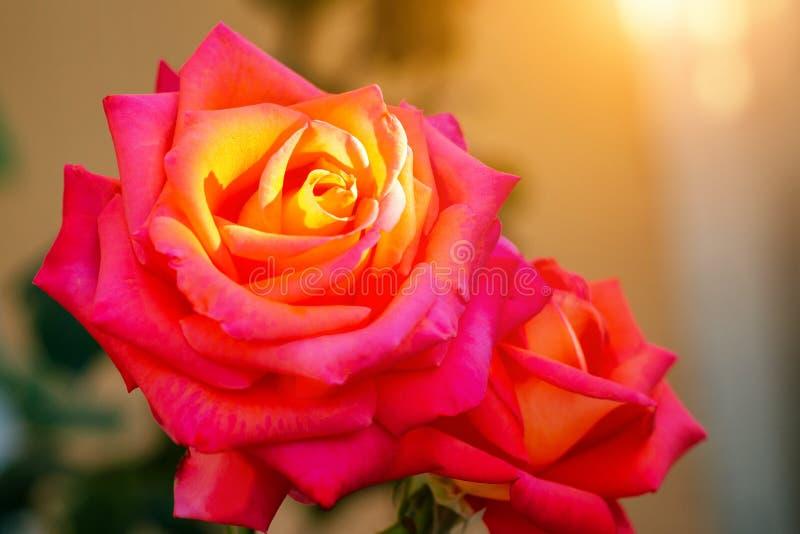 Primer de Rose en los rayos del sol poniente fotografía de archivo libre de regalías