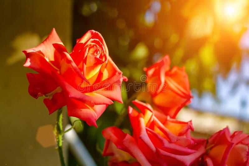 Primer de Rose en los rayos del sol poniente fotos de archivo