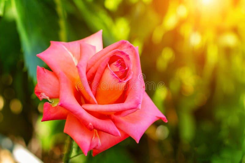 Primer de Rose en los rayos del sol poniente fotografía de archivo