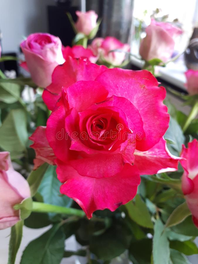 Primer de Topview de una rosa rosada hermosa foto de archivo