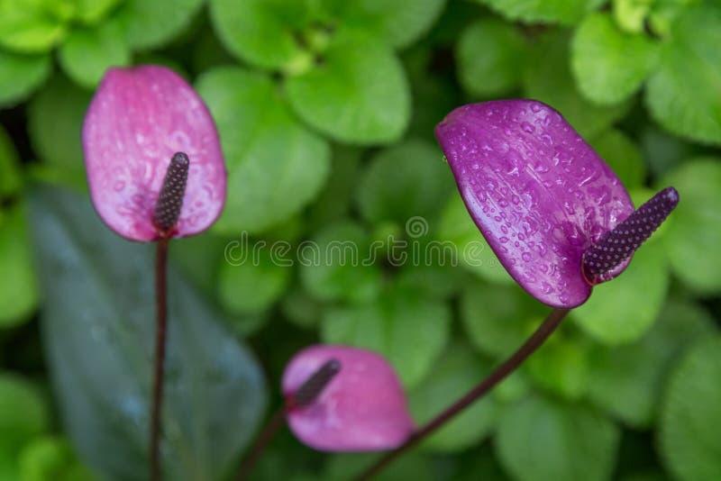 Primer de tres flores llameantes del lirio imagenes de archivo