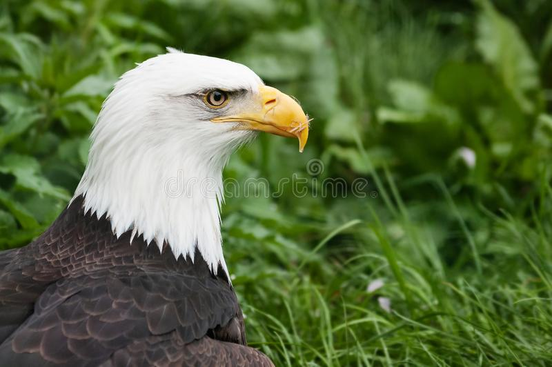 Primer de un águila calva con follaje verde en fondo imágenes de archivo libres de regalías