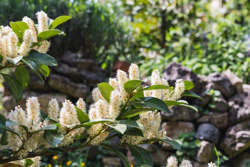 Primer de un árbol del laurel de cereza en la floración fotografía de archivo libre de regalías