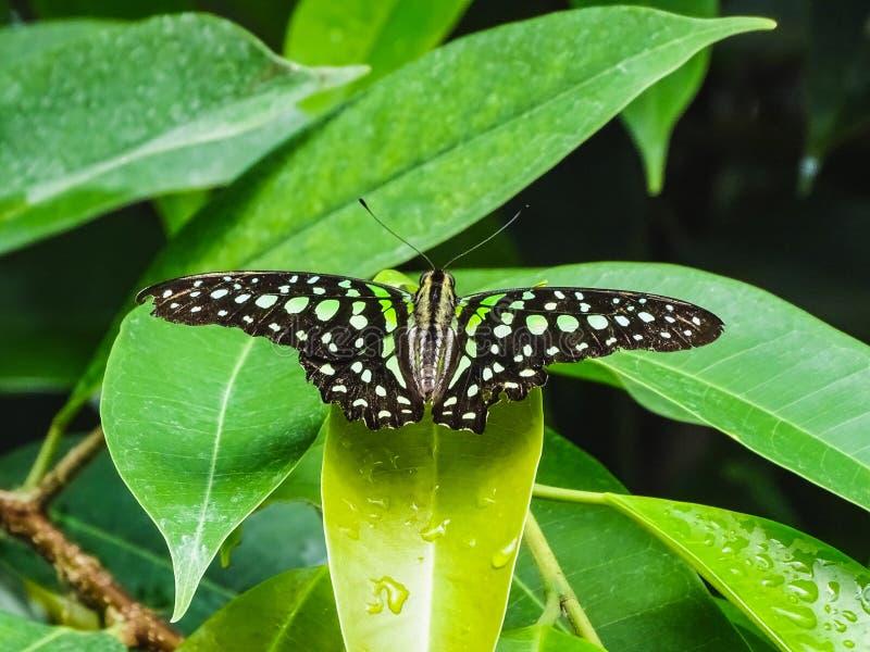 Primer de un agamemnon atado de la mariposa o del graphium de jay en un pasto imagenes de archivo