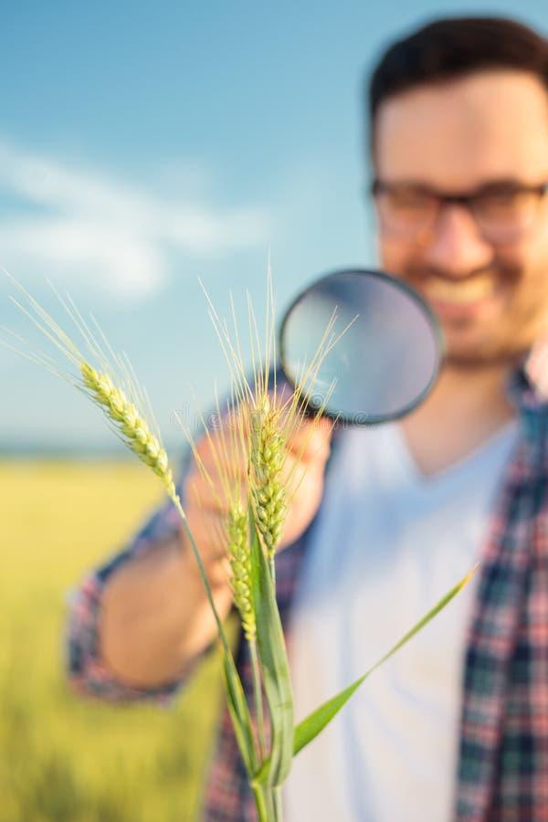 Primer de un agrónomo o de un granjero joven feliz que examina troncos de la planta del trigo con una lupa foto de archivo
