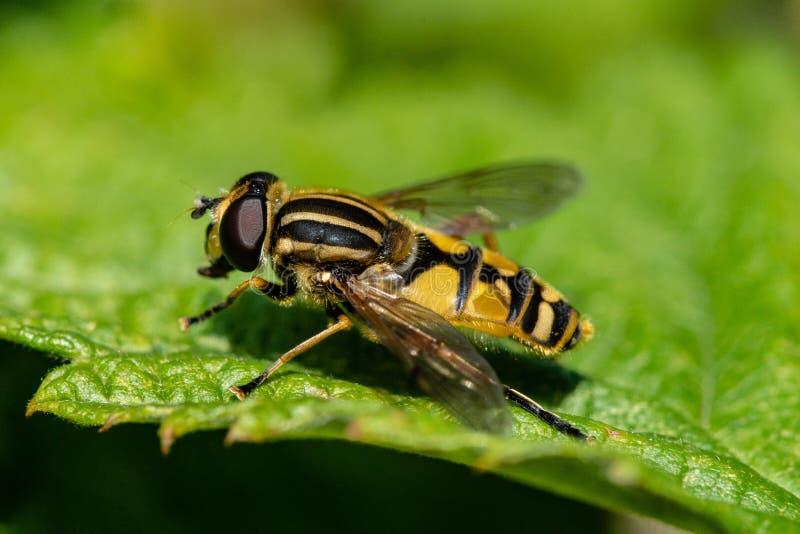 Primer de un amarillo y de una mosca rayada negra que se sientan en una hoja verde en sol imagen de archivo libre de regalías