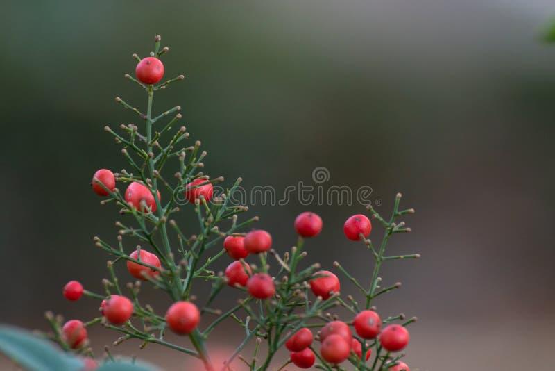 Primer de un arbusto de bayas rojas en un fondo verde Fondo natural hermoso fotos de archivo