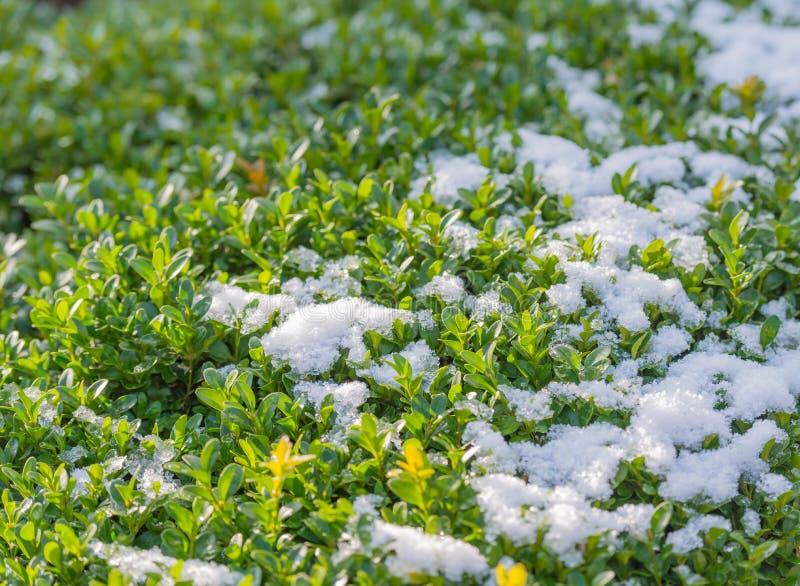 Primer de un arbusto verde cubierto con nieve foto de archivo libre de regalías
