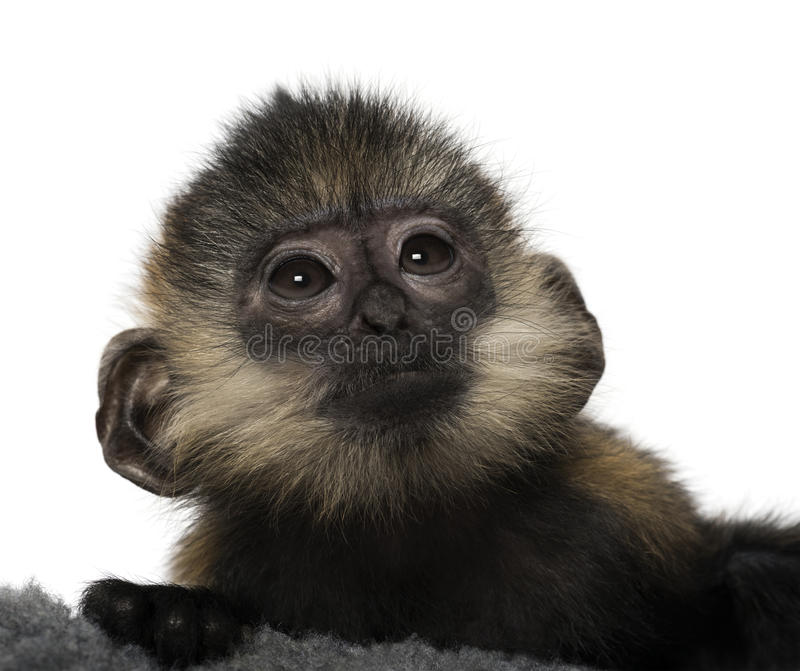 Primer de un bebé Francois Langur imagen de archivo libre de regalías