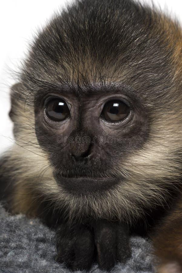 Primer de un bebé Francois Langur (4 meses) imagen de archivo libre de regalías