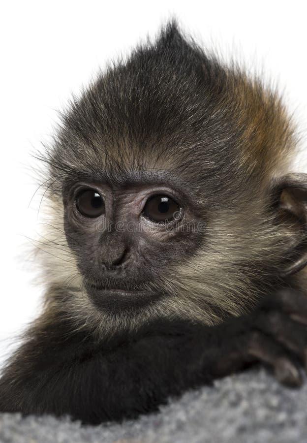 Primer de un bebé Francois Langur (4 meses) foto de archivo